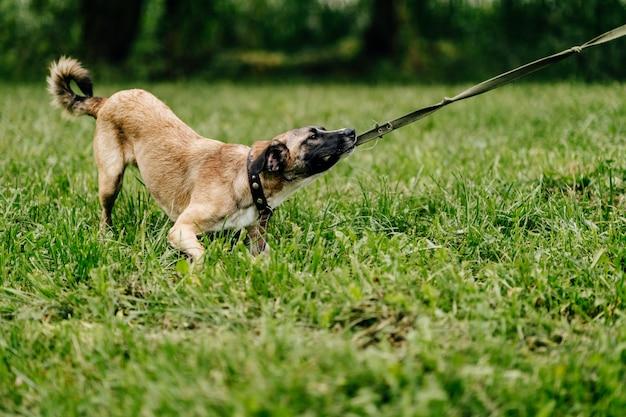 Gelukkig speels speels snel en woedend puppy die van vrijheid genieten bij aard. gekke gekke grappige vrolijke mooie kleine hond die openlucht loopt en springt. rusteloos spelen van huisdieren.