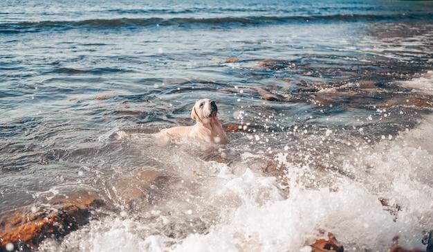 Gelukkig vrolijke golden retriever zwemmen rennen springen speelt met water aan de zeekust in de zomer.