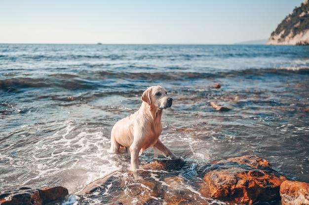 Gelukkig vrolijke golden retriever zwemmen rennen springen speelt met water aan de zeekust in de zomer