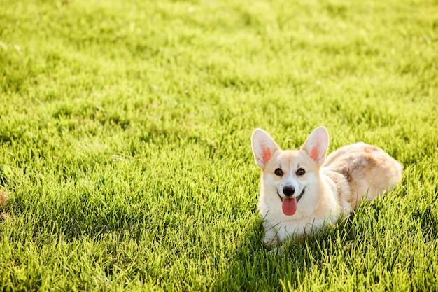 Gelukkig welsh corgi pembroke op het groene gazon in de zomer. kopieer ruimte. rasechte corgi hond die ik op het groene gras na wandeling rust.