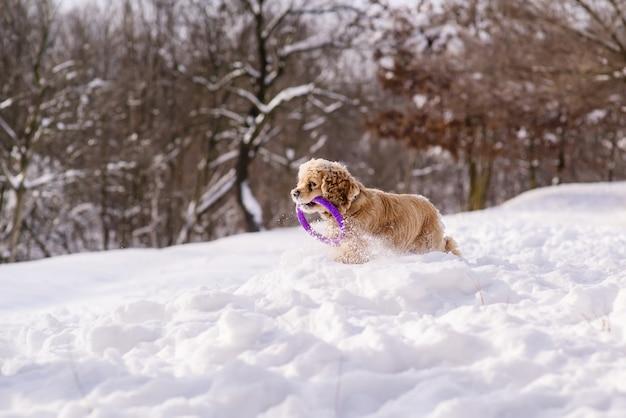 Gelukkige cocker-spaniël die in sneeuw loopt