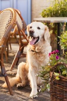 Gelukkige glimlachende golden retrieverhond in in openlucht koffie.