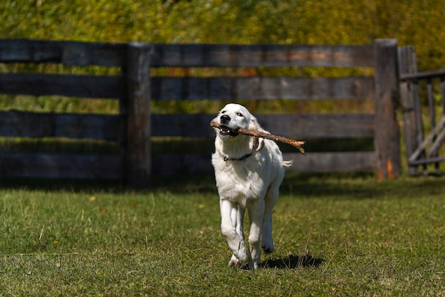 Gelukkige golden retriever-puppy rent over een gazon en heeft een stok tussen zijn tanden