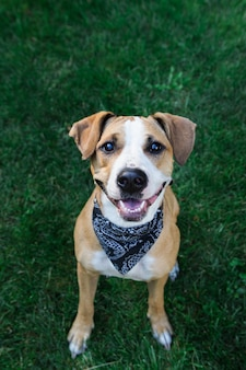 Gelukkige hond die in bandana omhoog kijkt