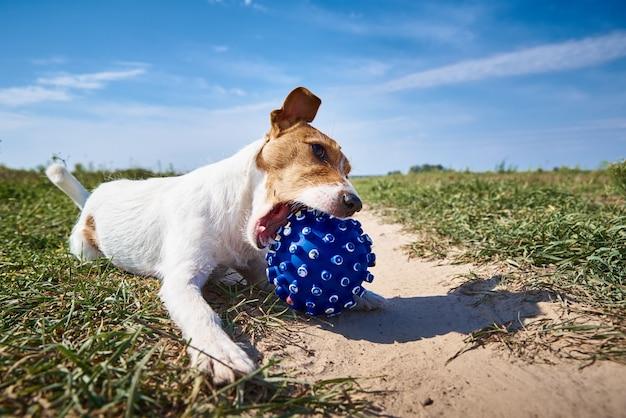 Gelukkige hond spelen met bal in het veld in zomerdag