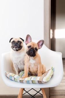 Gelukkige huisdierenpug hond en franse buldogzitting op een stoel die de camera bekijken. honden wachten op eten in de keuken