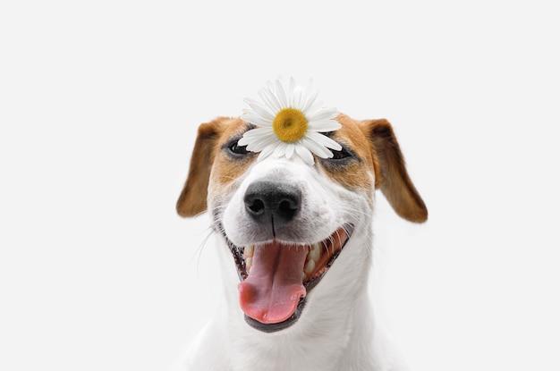 Gelukkige jack russell-hond met kamillebloemen op zijn neus.