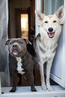Gelukkige jonge amstaff en herdershonden die naar de camera kijken terwijl ze thuis in de deuropening staan