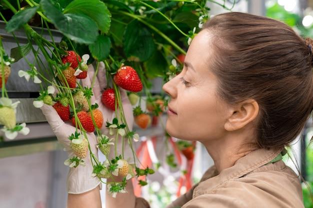 Gelukkige jonge brunette vrouwelijke werknemer van broeikas of verticale boerderij staat bij plank met aardbeienzaailingen en kijkt naar groene en rode bessen