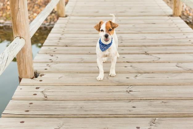 Gelukkige jonge hond op een houten brug die de camera bekijkt. buitenshuis. huisdieren en levensstijl