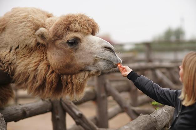 Gelukkige jonge vrouw die en op kameel in dierentuin letten voeden