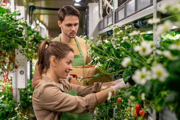 Gelukkige jonge vrouwelijke werknemer van verticale boerderij die verse rijpe aardbeien oppikt tegen haar mannelijke collega met houten kist