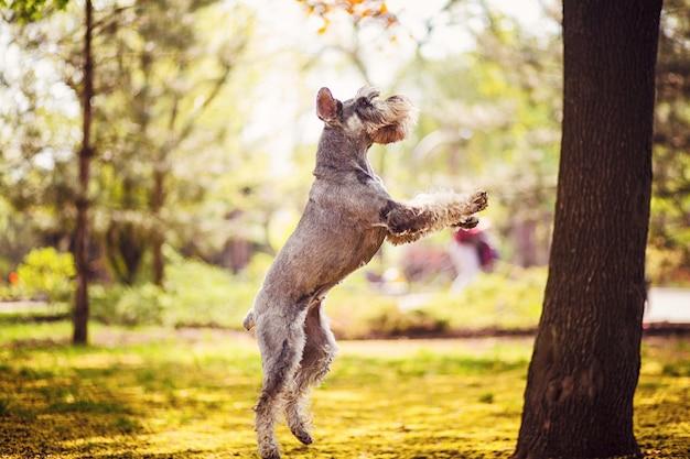 Gelukkige, leuke, grappige hond giant schnauzer, huisdier wandelen in een zomer-park.