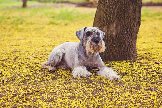 Gelukkige, leuke, grappige hond reuzeschnauzer