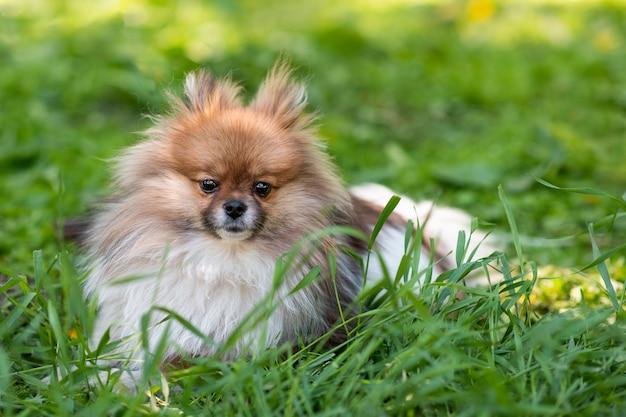 Gelukkige pomeranian-spitzzitting in het gras