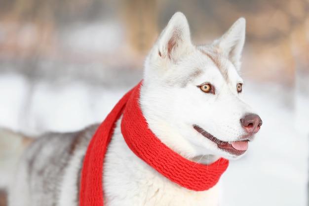 Gelukkige siberische husky met sjaal buiten op winterdag