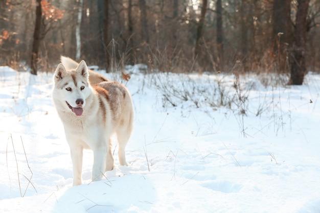 Gelukkige siberische husky op wandeling in winterpark