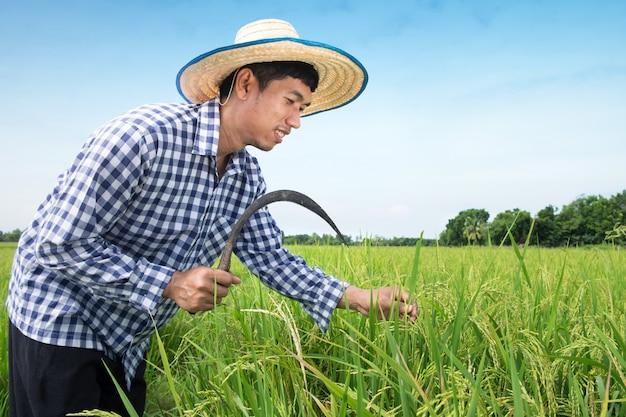 Gelukkige thaise mannelijke landbouwer het oogsten rijst in platteland thailand