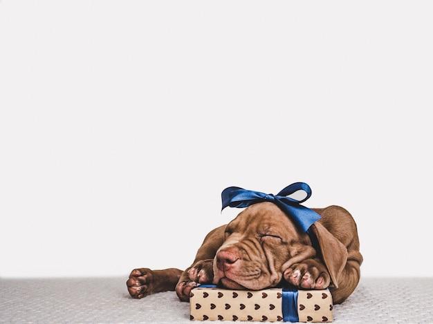 Gelukkige verjaardagscadeau doos met charmante puppy van pit bull hond
