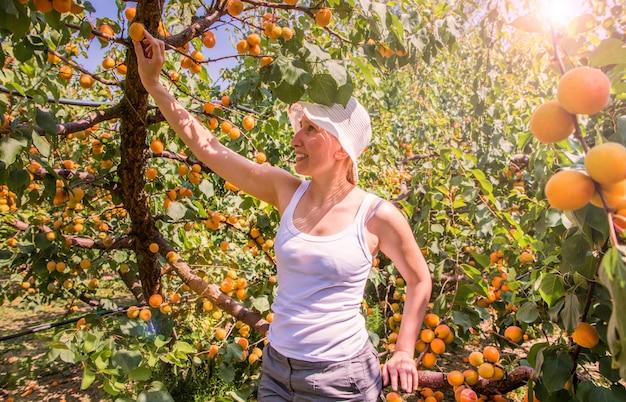 Gelukkige vrouwenoogst van vers fruit van abrikoos op boom