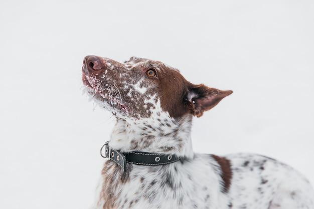 Gelukkige wit-bruine hond in kraag het spelen met sneeuw op gebied in wi