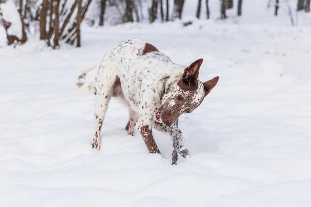 Gelukkige wit-bruine hond in kraag het spelen op sneeuwgebied in de winter
