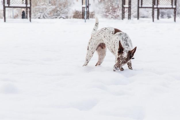 Gelukkige wit-bruine hond in kraag het spelen op sneeuwgebied in de winterbos