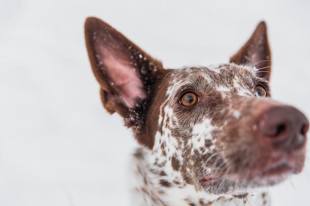 Gelukkige wit-bruine hond in kraag op sneeuwgebied in de winterbos