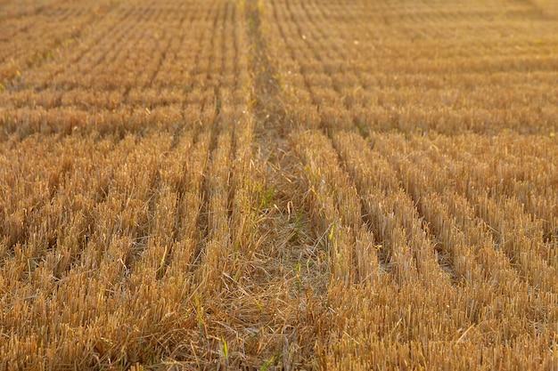 Gemaaid veld na het oogsten van tarwe. stro op landbouwgrond.
