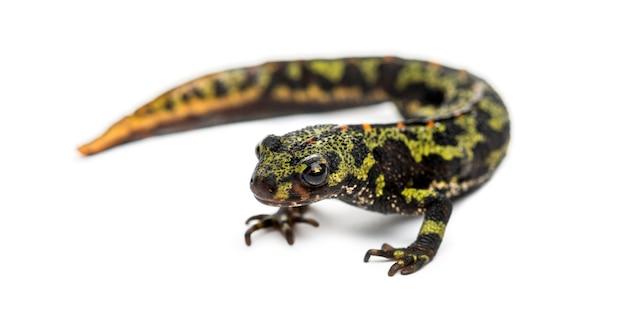 Gemarmerde salamander, triturus marmoratus, geïsoleerd op wit
