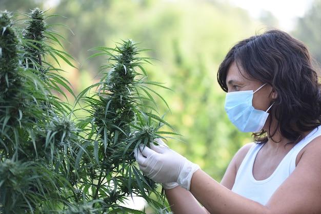 Gemaskerde vrouw die cbd-hennepplanten verzorgt bij het oogsten buiten
