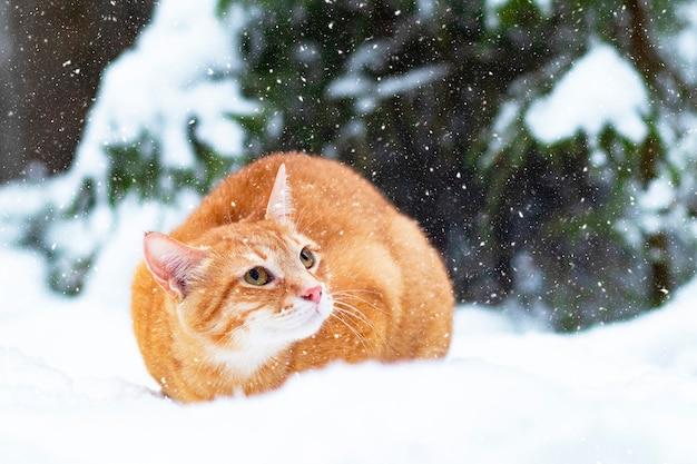 Gember kat in de sneeuw, wandelingen in de winter in het bos. een droevig huisdier zit buiten op een kerstboom.