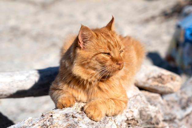 Gember kat liggend op de rotsen in de buurt van de egeïsche zeekust in griekenland