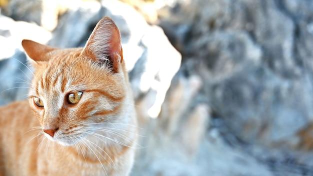 Gember kat verblijft op de rotsen in de buurt van de egeïsche zeekust in griekenland