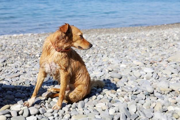 Gember natte hond zittend op kiezelstrand en op zoek naar