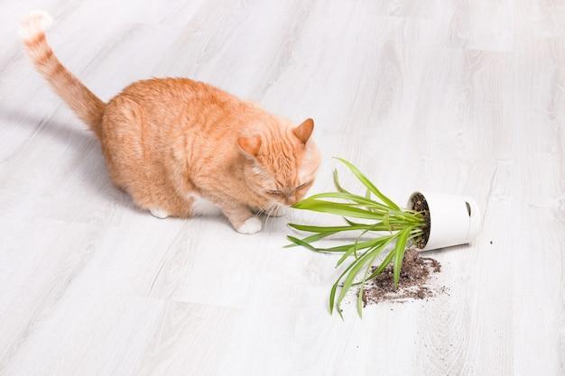 Gember schattige pluizige kat snuift een gevallen groene plant in een pot op lichte houten vloer
