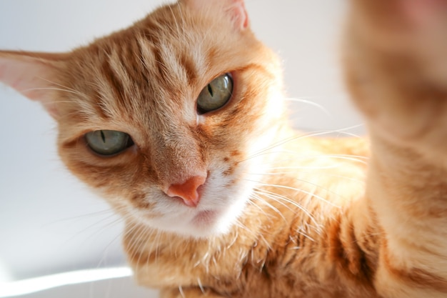 Gemberkat die een een selfieschot nemen en ernstig kijken.