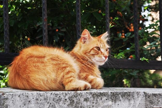 Gemberkat op de stenen voet van het hek. close-up kat op een achtergrond van groene struiken istanbul.