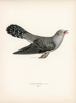 Gemeenschappelijk koekoek-mannetje (canorus cuculus) dat door de gebroeders von wright wordt geïllustreerd.