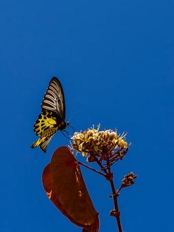 Gemeenschappelijke birdwing troides helena