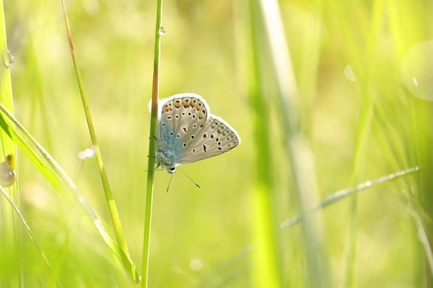 Gemeenschappelijke blauwe vlinder in de wei bij zonsopgang Premium Foto