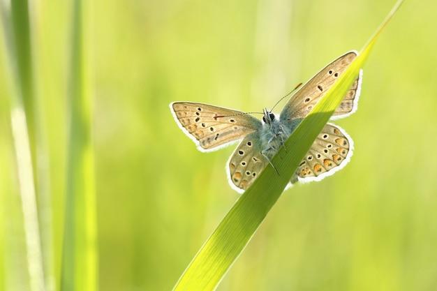 Gemeenschappelijke blauwe vlinder in de wei bij zonsopgang
