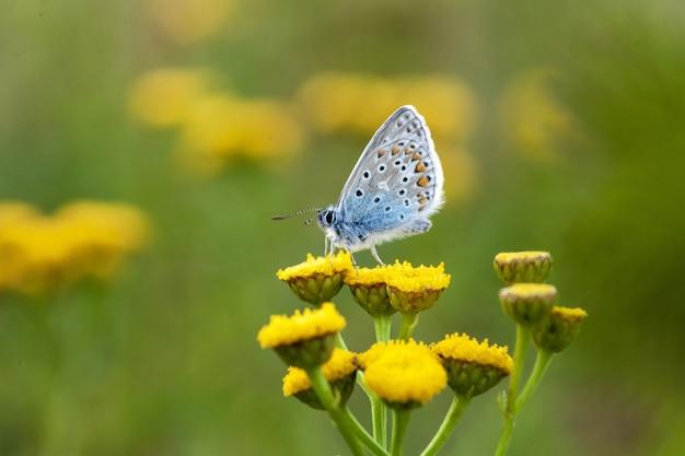 Gemeenschappelijke blauwe vlinder op craspedia onder het zonlicht in een tuin met wazig
