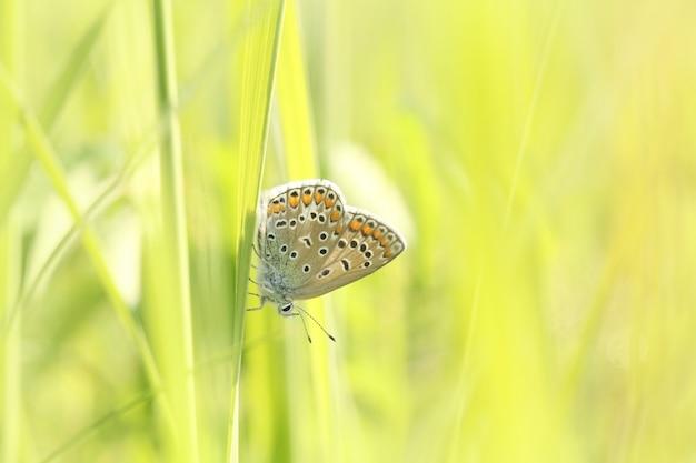 Gemeenschappelijke blauwe vlinder op een lenteweide in de zon
