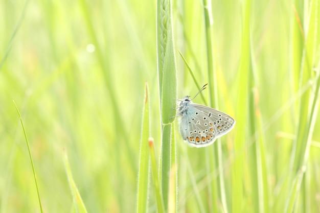 Gemeenschappelijke blauwe vlinder op een lenteweide