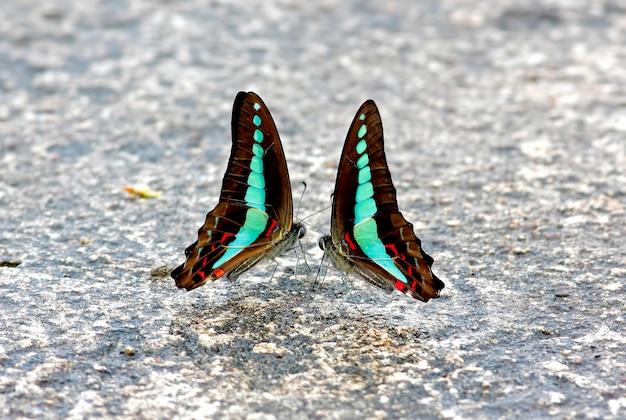 Gemeenschappelijke bluebottle butterfly graphium-sarpedon