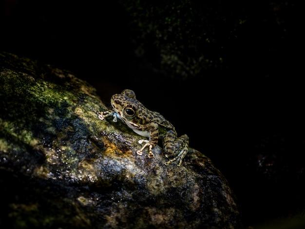 Gemeenschappelijke boomkikker of gouden boomkikker op rots dichtbij het kreekwater die van de bergstroom in een bos stromen.
