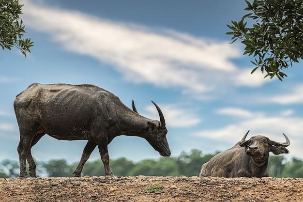Gemeenschappelijke buffalo in landelijk gebied thailand.