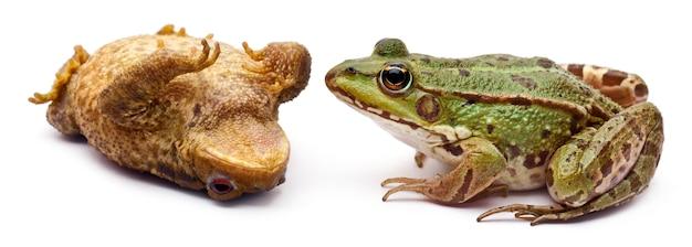 Gemeenschappelijke europese kikker of eetbare kikker (rana kl. esculenta) tegenover een gewone pad of europese pad (bufo bufo) die op zijn rug ligt