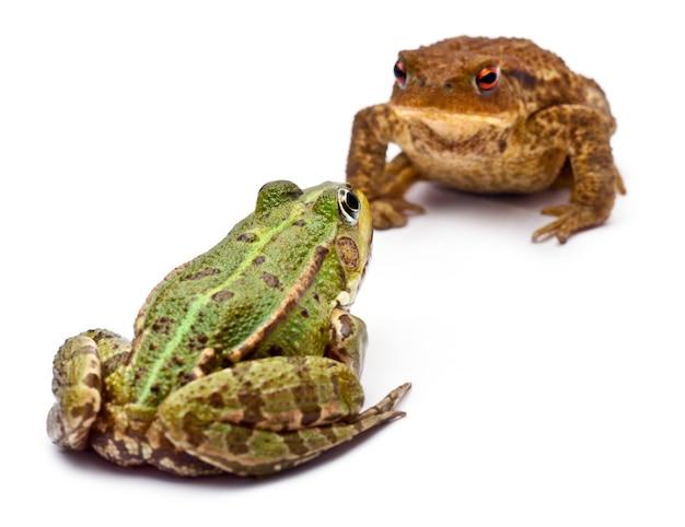 Gemeenschappelijke europese kikker of eetbare kikker (rana kl. esculenta) tegenover een gewone pad of europese pad (bufo bufo) tegenover elkaar